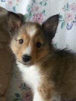 Sheltie puppy- SOLD PENDING