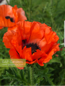 WANTED Mature Poppy Plants