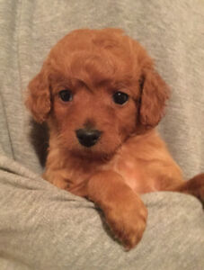 Mini Goldendoodle Puppies (golden retriever x poodle)