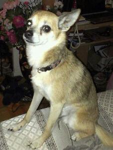 Male dog chihuahua
