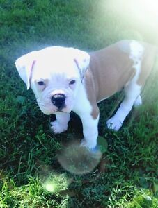 ONLY 1 male fawn and white Engam Bulldog Puppy left
