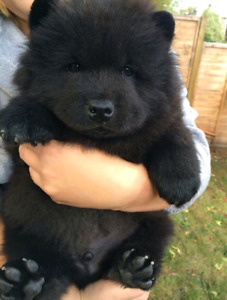 Chow chow chiots