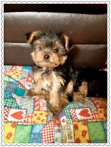 Yorkshire Terrier Adorables