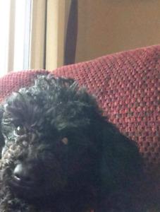 Lost black toy poodle
