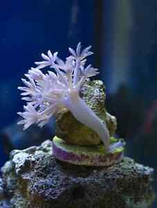 Pulsing Xenia Coral frag for trade.