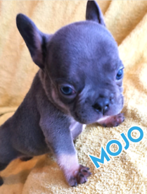 FRENCH BULLDOG PUPPIES KC REGISTERED REDUCED ONLY 2 PUPS LEFT