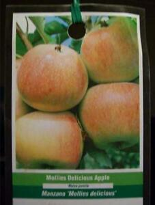 4 5 Mollies Delicious Apples Fruit Tree Apple Trees Ship