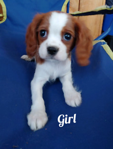 Beautiful Cavalier King Charles Spaniel Puppies!!