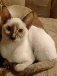 STUNNING CLASSIC CREAM POINT & TORTIE POINT SIAMESE KITTENS Stratford Kitchener Area image 2