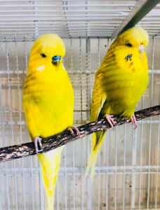 English Budgies | Adopt Local Birds in Ontario | Kijiji Classifieds