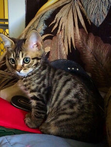 Registered Charcoal/Silver Bengals Kittens