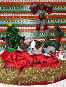 English Bulldog Puppies-Just In Time For Christmas! Only 1 Left!