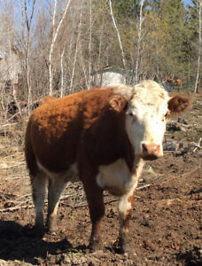 4 year old pure Hereford cow
