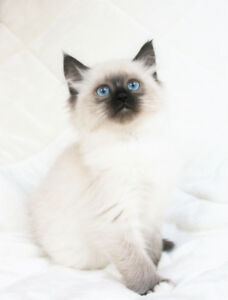 Fluffy RAGDOLL KITTENS are ready for Adoption