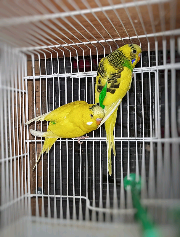 Budgies Bird Parrots Male and Female | in Yardley, West Midlands | Gumtree