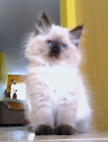 FLUFFY RAGDOLL KITTENS