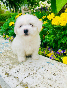 Bichon Frise Shih Tzu mix puppies for sale ready   Dogs