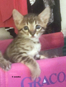 Exotic Purebred Savannah Kittens for Sale