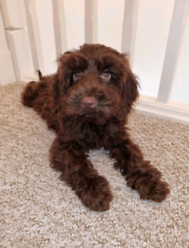 Beautiful female cockapoo ready for forever home