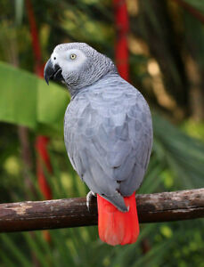 Sadly still searching LOST AFRICAN GREY PARROT - $500 REWARD