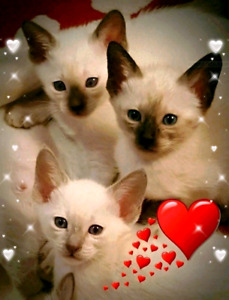 ❤SUPERBES CHATONS SIAMOIS❤HEALTHY PURE SIAMESE JEWELS❤