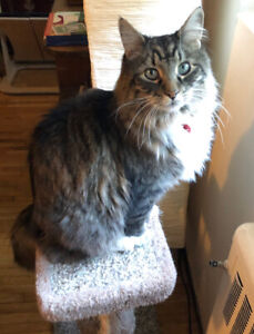 Maine Coon-eques Beautiful Boy