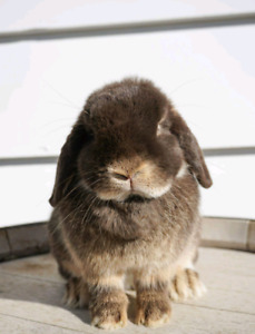 Pedigreed Chocolate Otter Holland Lop Doe For Adoption!