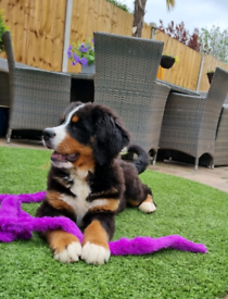 7 month old female bernese mountain dog
