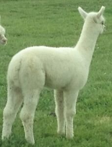 Proven Breeding Sire + 2 Young Male Alpacas . West Island Greater Montréal image 3