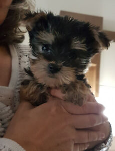 Female Morkie Puppy LAST ONE