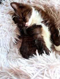 Beautiful Brown Persian Cross kittens ready now.
