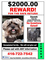 STILL LOST DOG - $2,000.00 REWARD FOR SAFE RETURN  OF - SQUEAK !