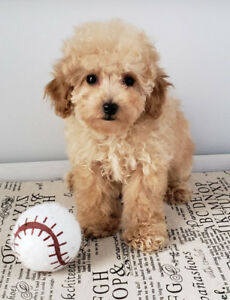 Toy, Tiny Toy & Teacup MALTIPOO puppies