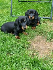 Miniature dachshund puppys