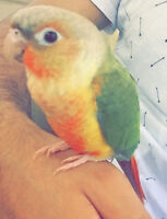 Healthy 3 months old Pineapple colouring conure!!