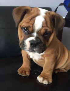 Male English Bulldog puppy