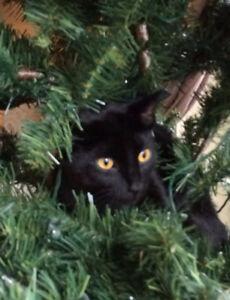 Lost Black Cat in Oakville