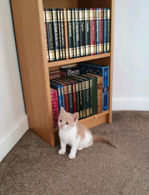 12 week old ginger/beige and white kitten