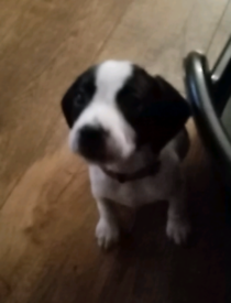 Beagle X Springer Spaniel puppies for sale.
