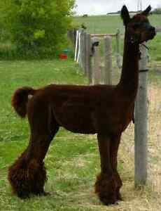 Alpacas/Need pasture space. Regina Regina Area image 4