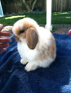 Holland Lop Baby Female