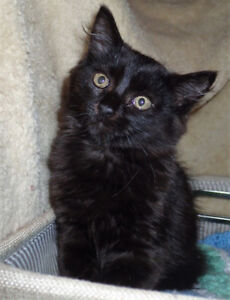 KALI the Maine Coon Mix Female