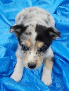 Siberian Husky / Australian Shepherd Puppies - 3 Boy - 4 Girls