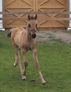 Gorgeous copper dun Curly colt