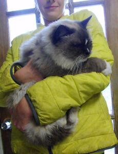 Gorgeous BIG seal mitted Ragdoll male cat, TICA reg'd