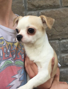 3 year old chihuahua looking for a special home