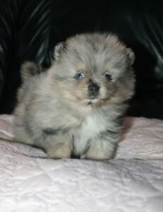 Canadian Kennel club Registered Blue Merle Pomeranian puppy