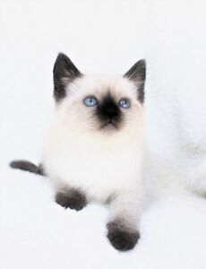 Ragdoll Siamese kittens are available for their new homes,,