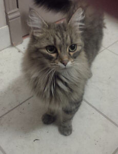 Cat found near Sissons School