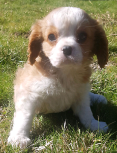 King Charles Cavalier boy available